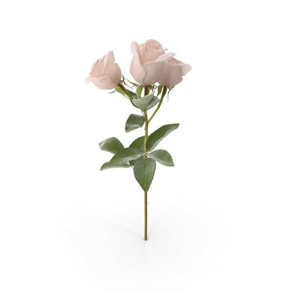 Thumbnail for Spray Rose