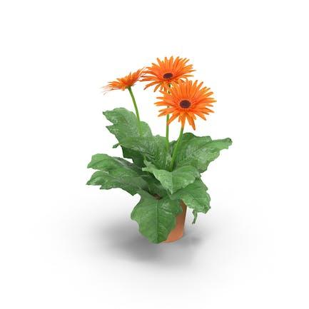 Orange Gänseblümchen im Tontopf
