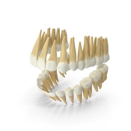 Dentición permanente de dientes realistas