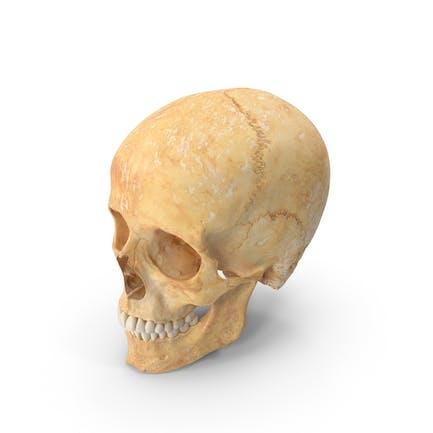 Mujer Humana Cráneo (Craneal) Con Dientes