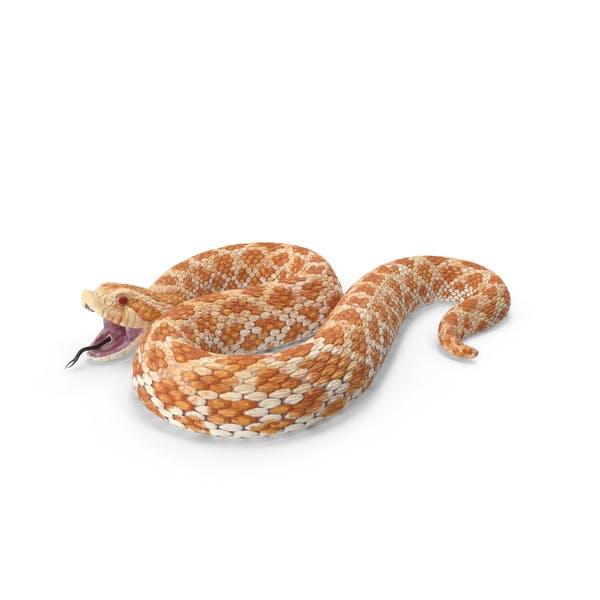 Beige Hognose Schlange Angriff Pose