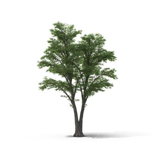 Thumbnail for Tilia Tree