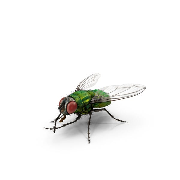 Green Bottle Fly Rubbing Hands