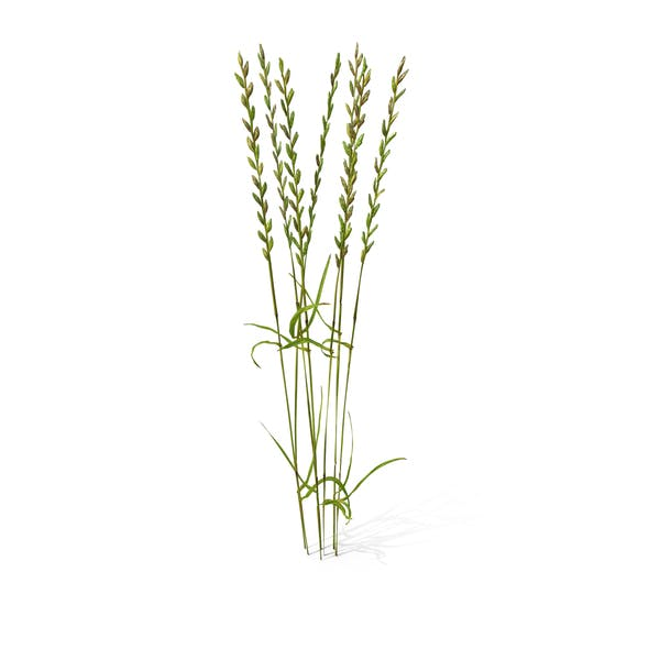 Perennial Rye-Grass