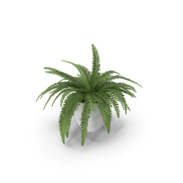 Potted Sword Fern