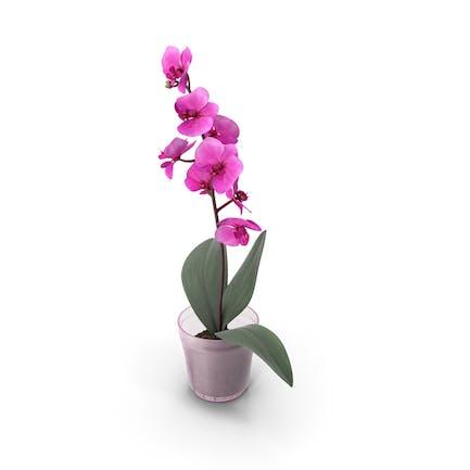 Blume Orchidee Rose