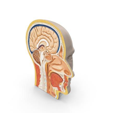 Menschlicher Kopfquerschnitt