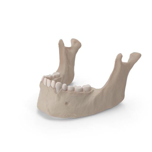 Кость челюсти