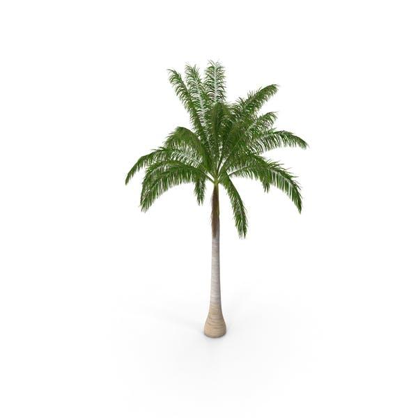 Thumbnail for Roystonea Regia Cuban Royal Palm
