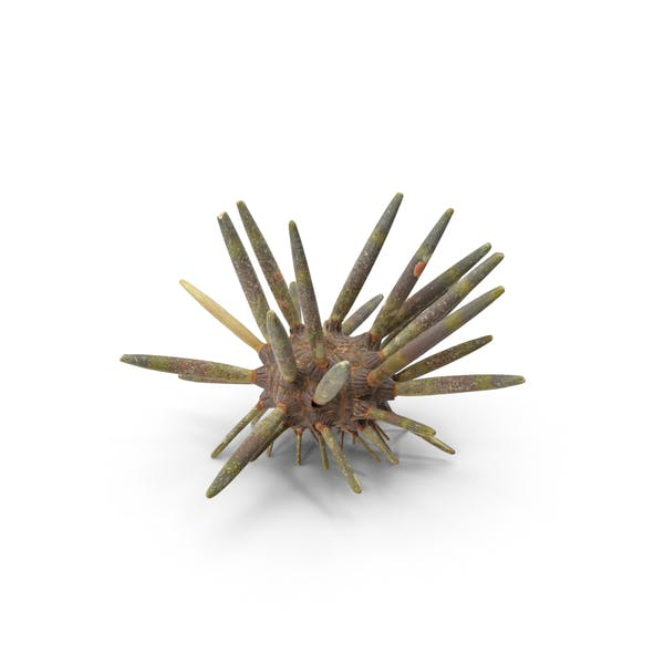 Thumbnail for Slate Pencil Urchin