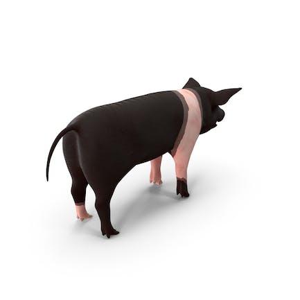 Hampshire Pig Piglet