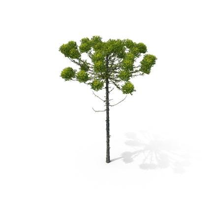Kiefer Araucaria Angustifolia