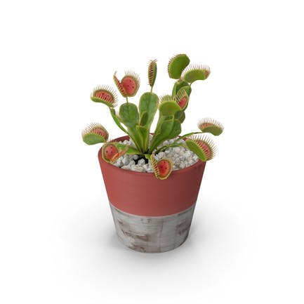 Venus Flytrap in Plant Pot