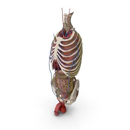 Anatomía del torso masculino y de los órganos internos