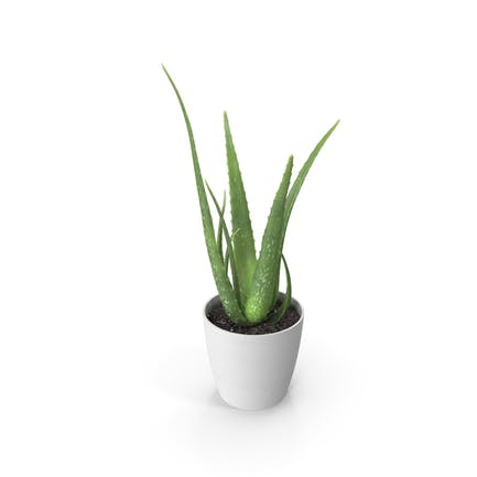 Aloe Pot Plant