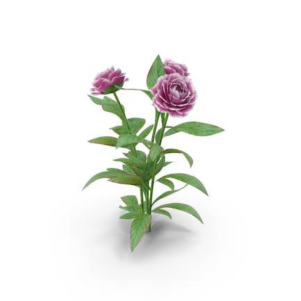 Pfingstrosen Blumen