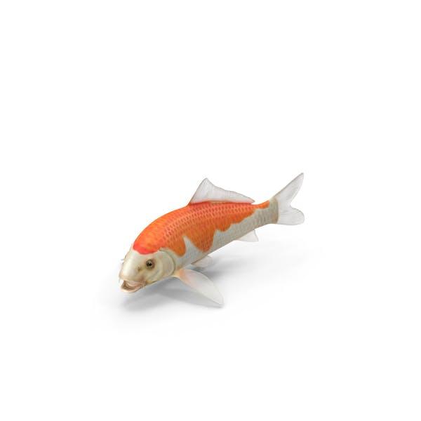 Thumbnail for Harivake Koi Fish