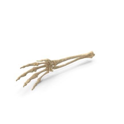 Mano esqueleto