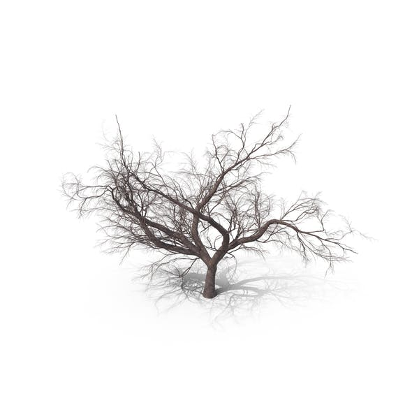 Bare Japanese Cherry Tree