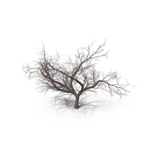 Thumbnail for Bare Japanese Cherry Tree