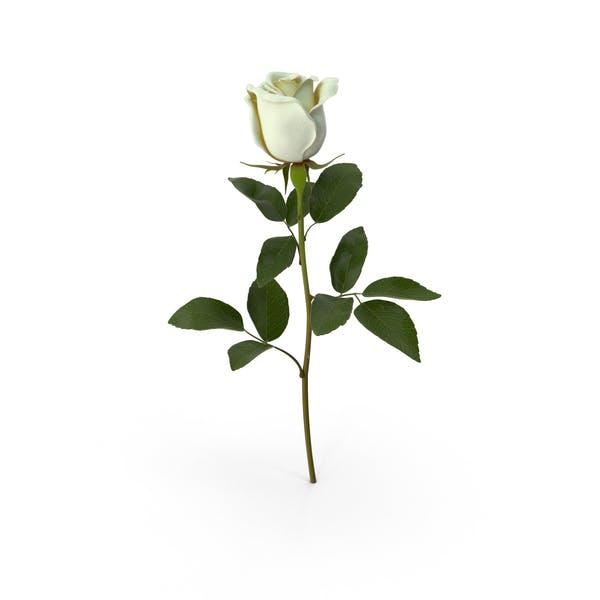 Thumbnail for White Rose