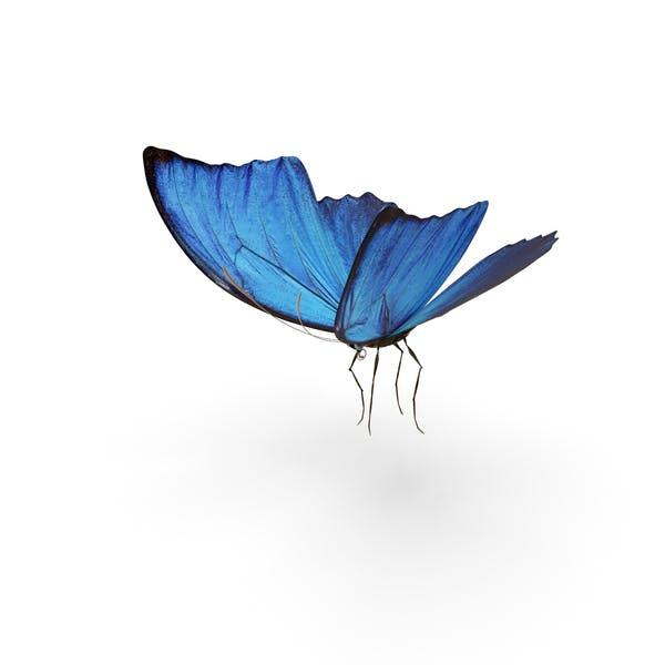Blauer Morpho mit Schmetterling