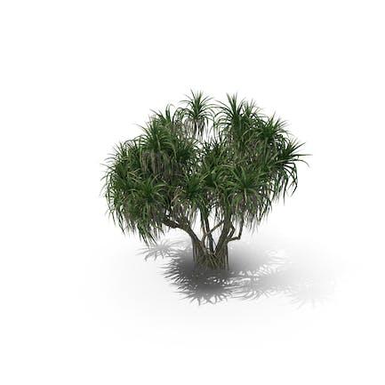 Palm Tree Pandanus Tectorius