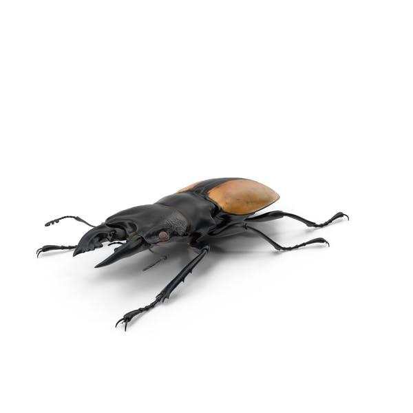 Thumbnail for Giant Stag Beetle Odontolabis Ludekingi