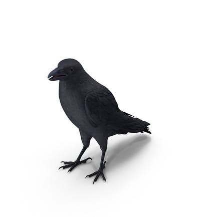Krähe stehend Pose