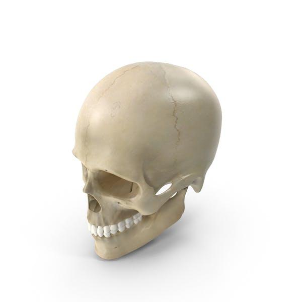 Thumbnail for Männliches Skelett