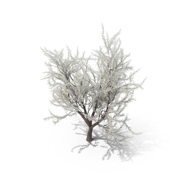 Thumbnail for Japanese Cherry Tree