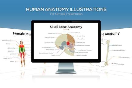 Biology - Human Anatomy For Keynote