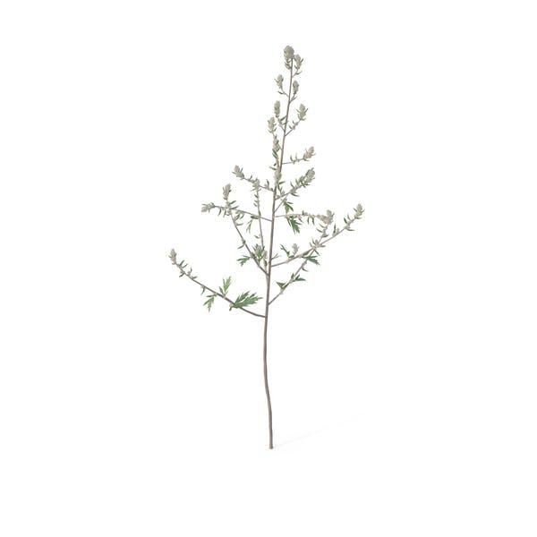 Thumbnail for Artemisia Vulgaris