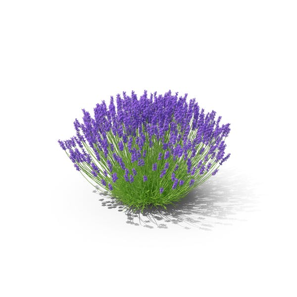 Lavender Bush By Pixelsquid360 On Envato Elements