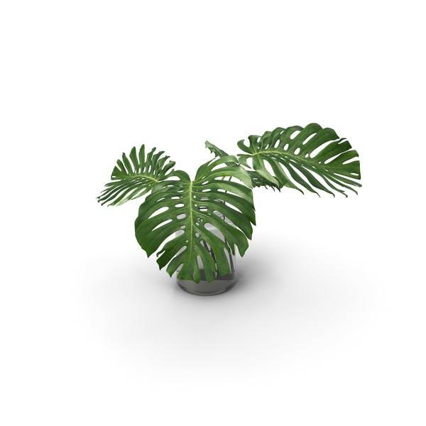 Monstera Blätter