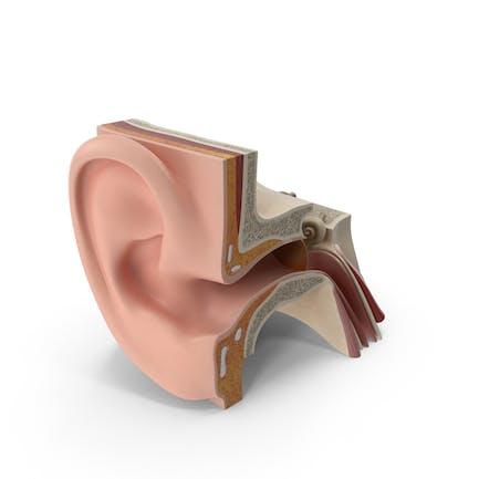 Anatomía del oído