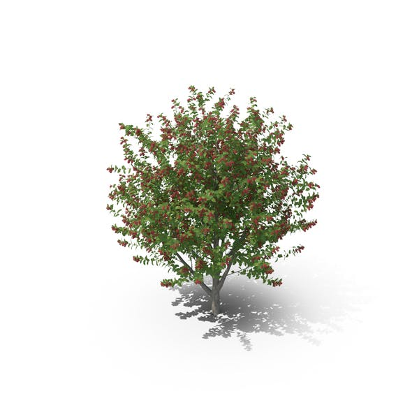 Thumbnail for Bird Cherry Tree