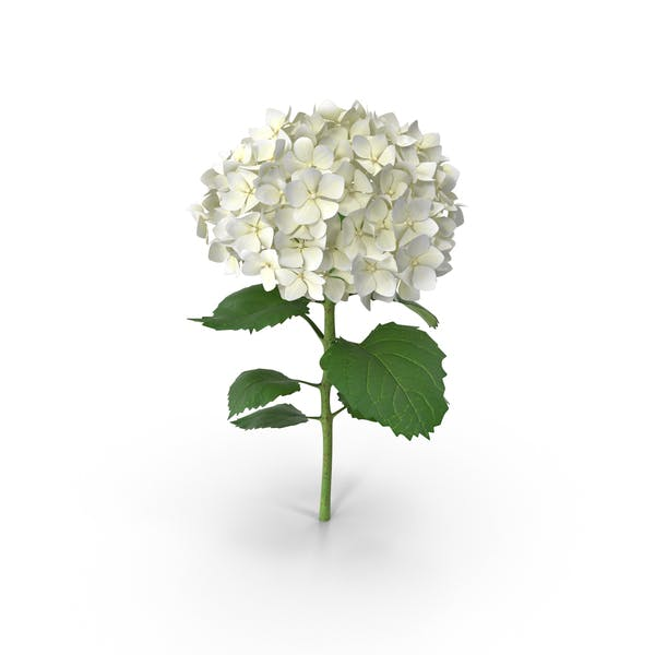 Cover Image for Hydrangea