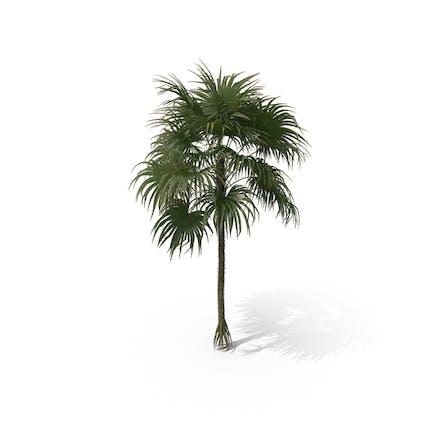 Palm Tree Cryosophila Warscewiczii