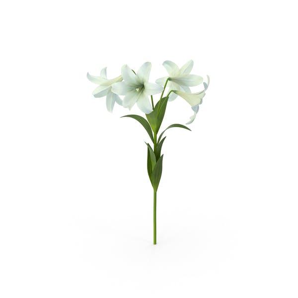 Ostern Lilien