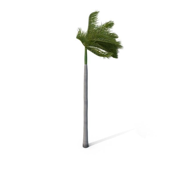 Palm Royal with Strong Wind