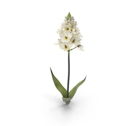 Ornithogalum Blume