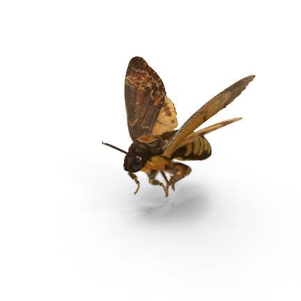 Todesopfer Hawkmoth