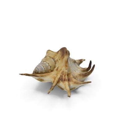 Spinne Muschel Muschel
