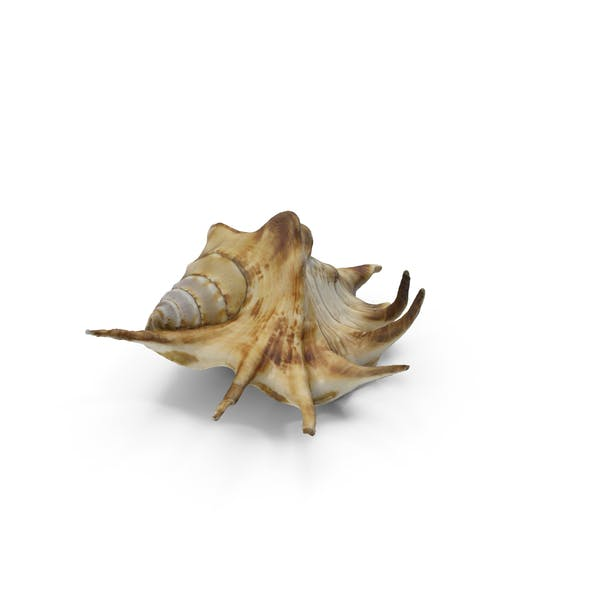 Cover Image for Spider Conch Shell