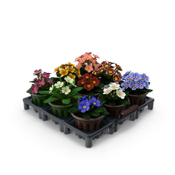 Thumbnail for Common Primroses in Pots and Crate