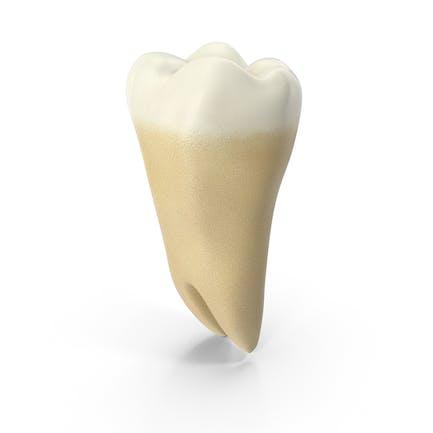 Sabiduría del tercer molar inferior de los dientes humanos