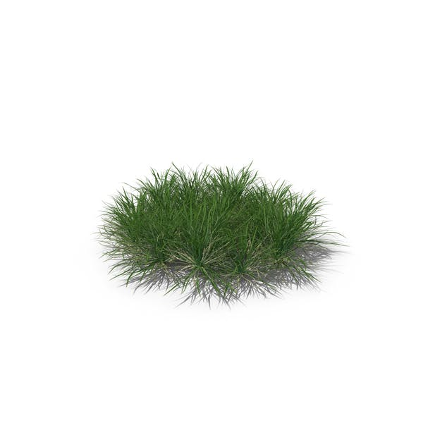 Thumbnail for English Ryegrass (Lawn Grass)