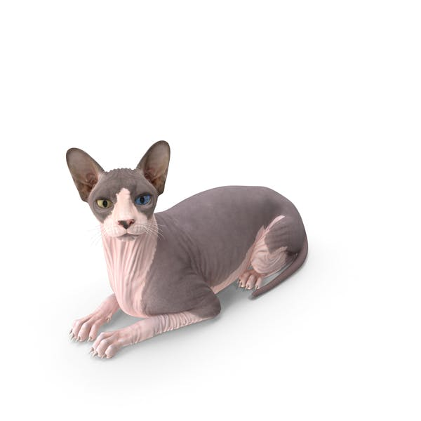 Bicolor Sphynx Cat Lying Pose