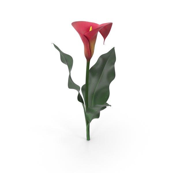 Thumbnail for Calla Lily